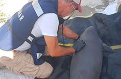 DOLPHIN DISCOVERY PARTICIPATES IN THE RESCUE PLAN FOR THE MANATEES IN TABASCO